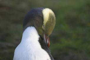 ペンギンの写真素材 [FYI00298529]