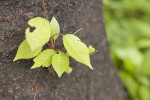 新しく育つ葉の写真素材 [FYI00298558]