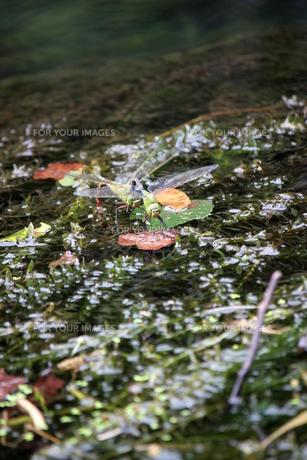 ギンヤンマのいる風景の素材 [FYI00298612]