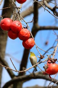 柿とメジロの写真素材 [FYI00298649]