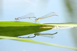 糸蜻蛉の写真素材 [FYI00298844]