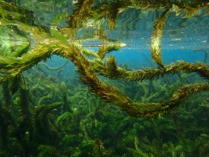 大カナダ藻の写真素材 [FYI00298920]