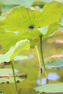 ハスの葉に止まるシオカラトンボの写真素材 [FYI00298944]