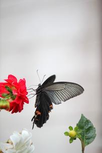 クロアゲハの写真素材 [FYI00299028]