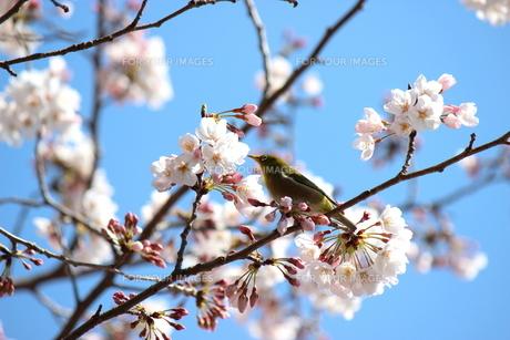 桜とメジロの写真素材 [FYI00299074]