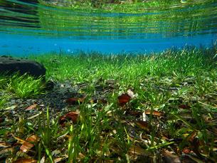 セキショウモのある水中風景の写真素材 [FYI00299080]