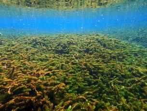 オオカナダモのある水中風景の写真素材 [FYI00299084]