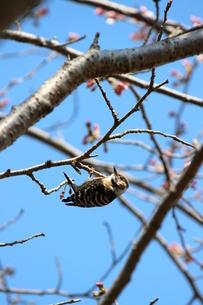 コゲラと桜の写真素材 [FYI00299086]