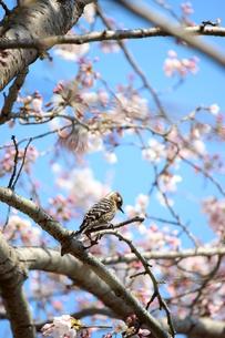 小啄木鳥の写真素材 [FYI00299093]