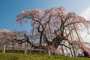 三春滝ザクラの写真素材 [FYI00299135]