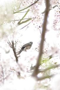 春の鳥と桜の素材 [FYI00299266]