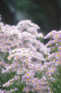 シオンの花の写真素材 [FYI00299270]