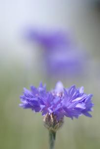 矢車菊の写真素材 [FYI00299276]