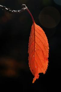 紅葉の写真素材 [FYI00299292]