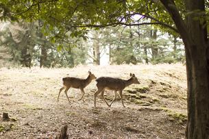 鹿の写真素材 [FYI00299342]
