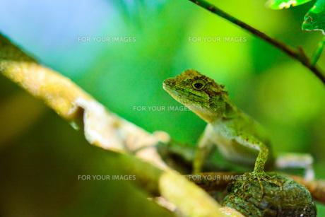 キノボリトカゲの写真素材 [FYI00299496]