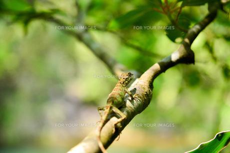 キノボリトカゲの写真素材 [FYI00299500]