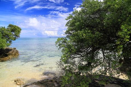 波照間島 浜シタン群落の写真素材 [FYI00299708]