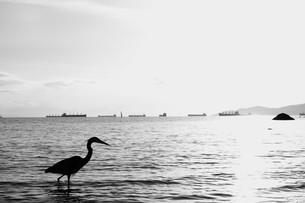 海鳥の写真素材 [FYI00299730]