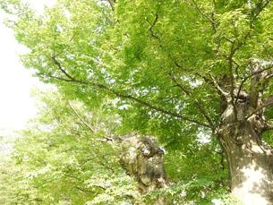 欅の写真素材 [FYI00299791]