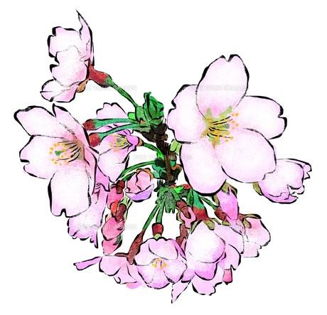 桜の素材 [FYI00299841]