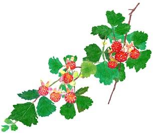 野苺の素材 [FYI00299920]