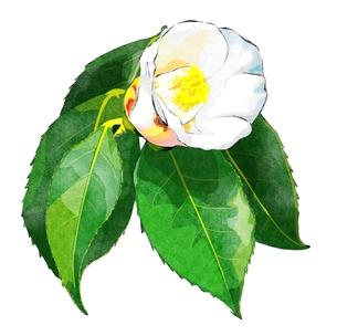 白い椿の写真素材 [FYI00299964]
