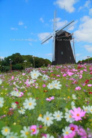 風車とコスモスの写真素材 [FYI00299974]