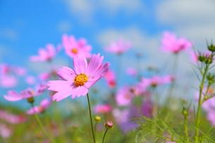 ピンクの花の写真素材 [FYI00299976]