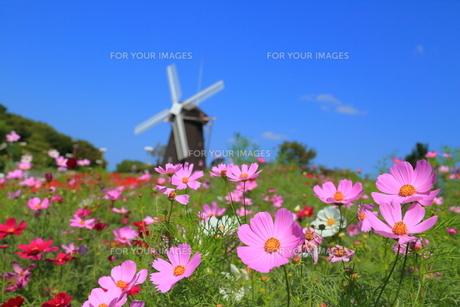 コスモスと風車の写真素材 [FYI00300010]