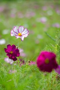 コスモスの花の写真素材 [FYI00300098]