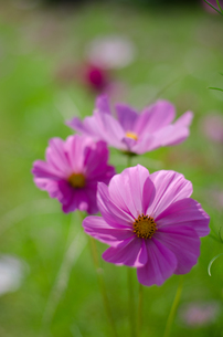 コスモスの花の写真素材 [FYI00300103]