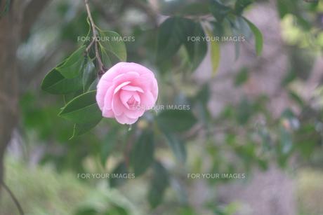 椿の花の写真素材 [FYI00300130]
