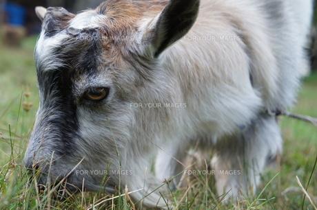 ヤギの写真素材 [FYI00300227]