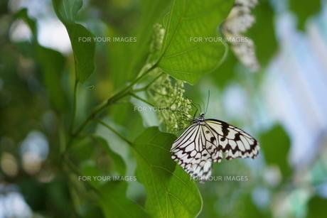 葉に止まる蝶の素材 [FYI00300288]