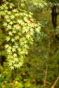 奥多摩湖周辺の紅葉風景の写真素材 [FYI00300357]