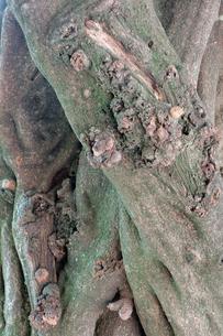 樹皮の写真素材 [FYI00300871]