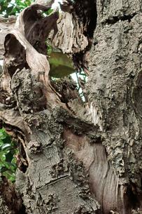 樹皮の写真素材 [FYI00300900]