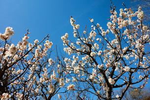 梅の花の写真素材 [FYI00300943]