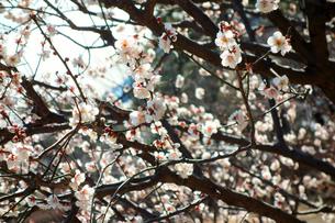 梅の花の写真素材 [FYI00300960]