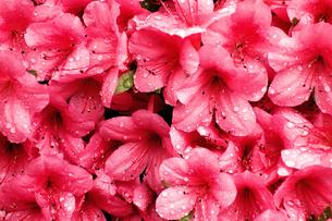 赤い花の写真素材 [FYI00301070]