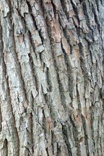 樹皮の写真素材 [FYI00301155]