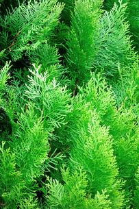 緑のカーテンの素材 [FYI00301157]