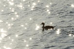 水鳥の写真素材 [FYI00301377]