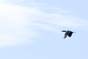 野鳥の写真素材 [FYI00301378]