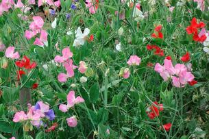 野花の写真素材 [FYI00301503]