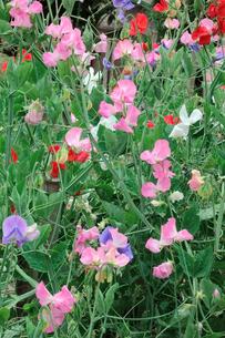 野花の写真素材 [FYI00301509]