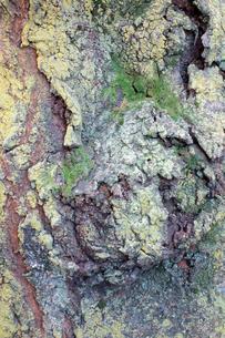 樹皮の写真素材 [FYI00301589]