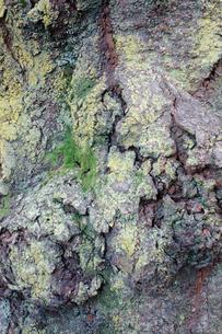 樹皮の写真素材 [FYI00301596]