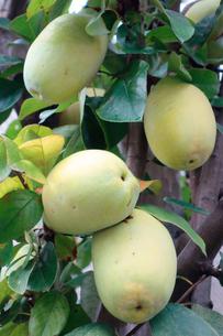 果実の写真素材 [FYI00301614]